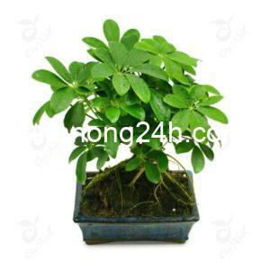cay ngu gia bi bonsai 510x510