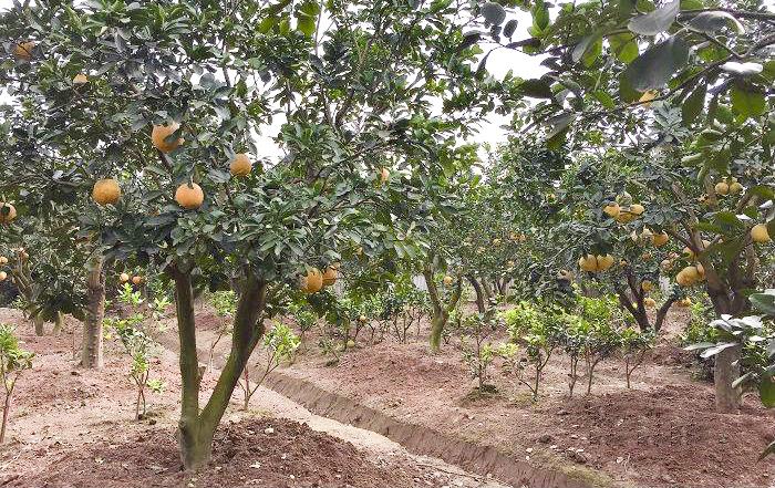 Kỹ thuật trồng  - chăm sóc - phòng trừ sâu bệnh trên cây bưởi diễn